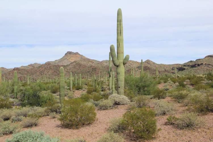 орган Пайп Кактус, Аризона, США (Organ Pipe Cactus, USA)