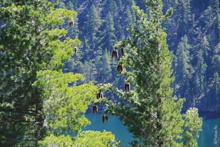 шишки висят на дереве на берегу озера тахо