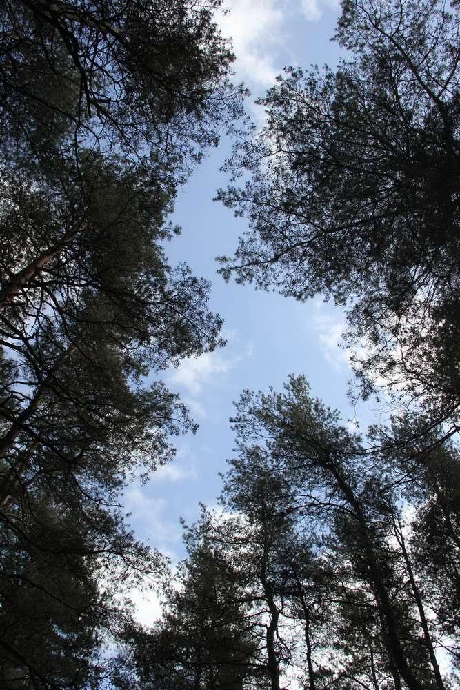 Куршская коса - деревья устремились в небо