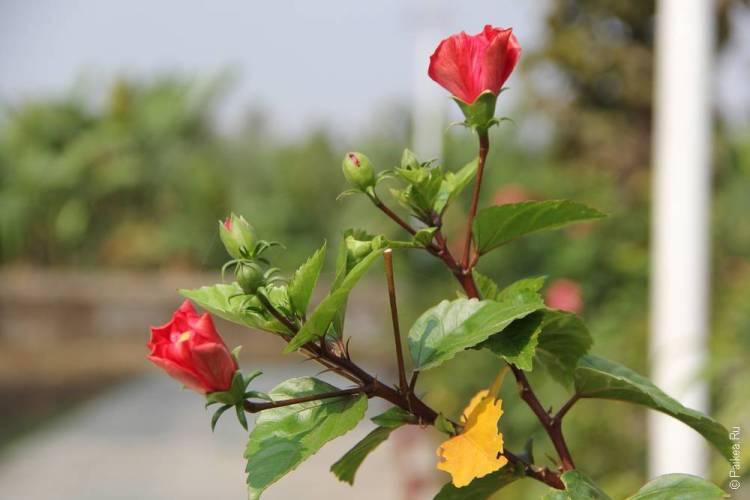 мраук-у цветы