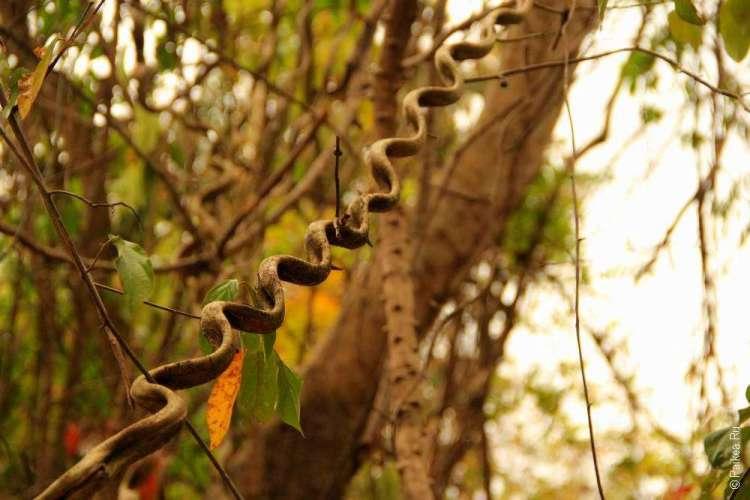 Красивая лиана в джунглях Камбоджи