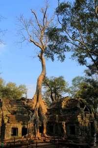 Высокое дерево с большими корнями в Та Пром