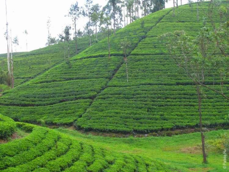 Как растет чай