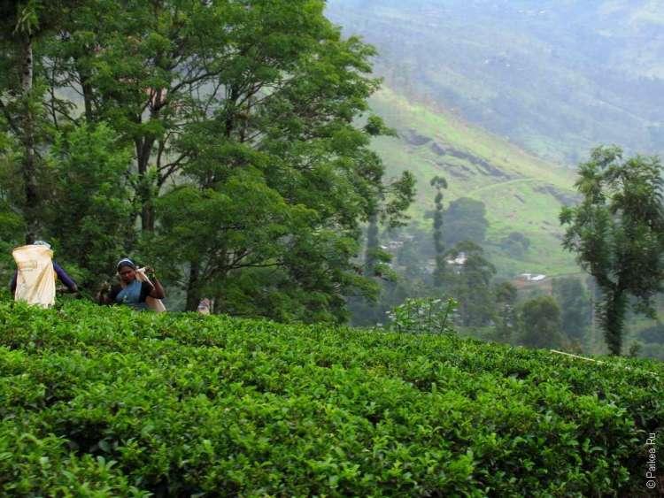 Чай Шри-Ланка кусты