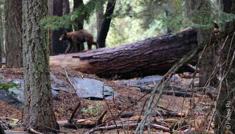 медведь в парке секвойя