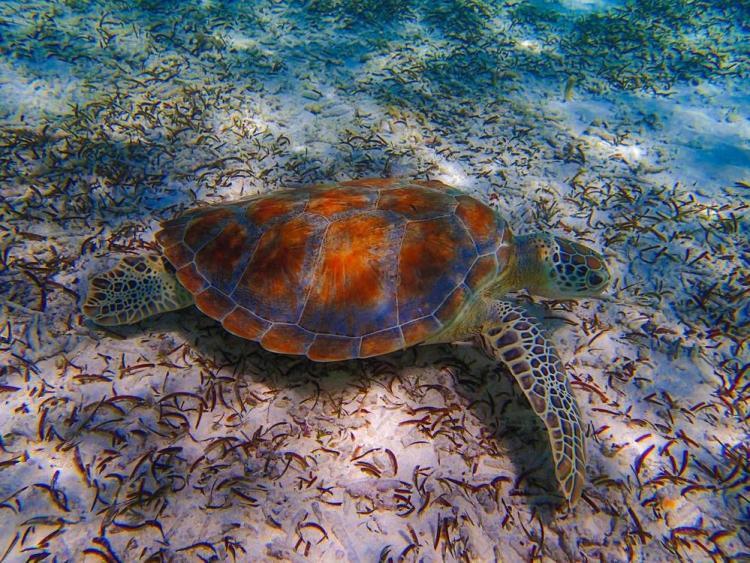 мальдивы черепаха