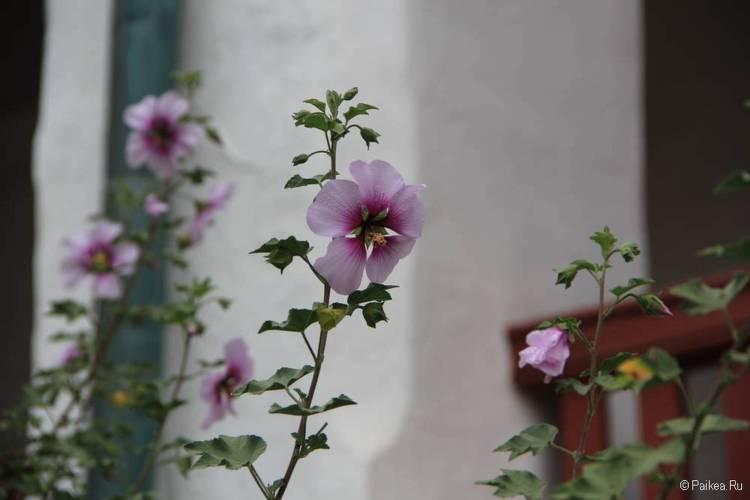 Цветы Санта-Барбара, Калифорния