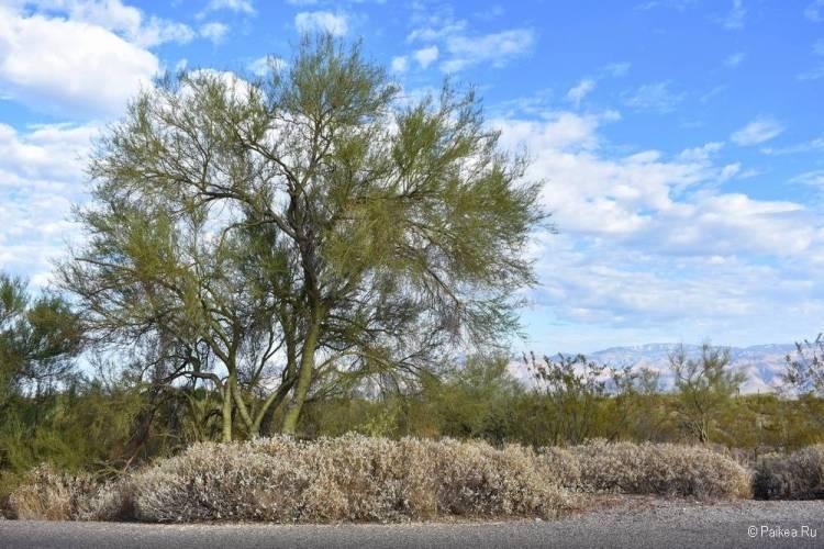 Сагуаро парк (Saguaro National Park) 10