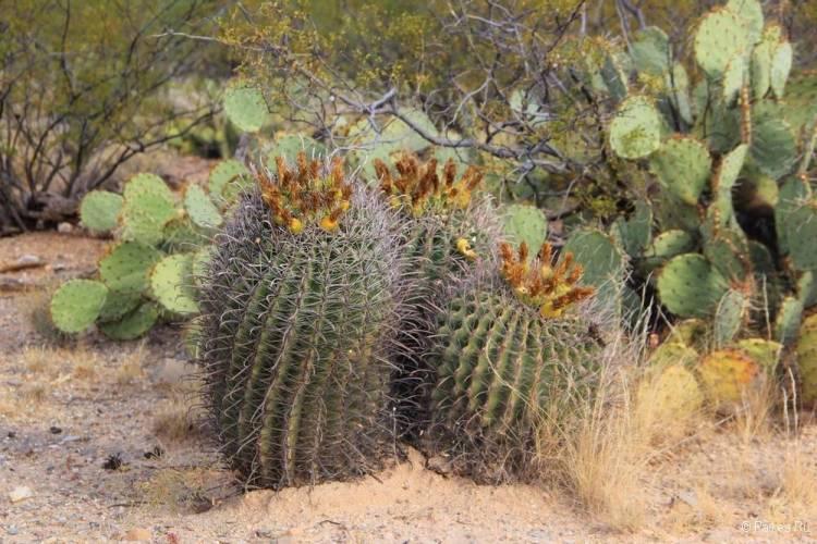 Сагуаро парк (Saguaro National Park) 37