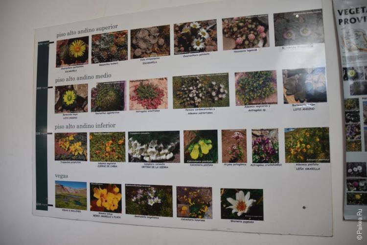акогагуа растения