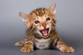 Você conhece a linguagem dos gatos?