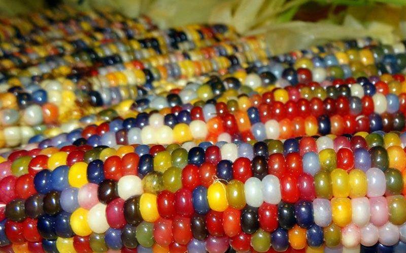 Conheça o milho arco-íris