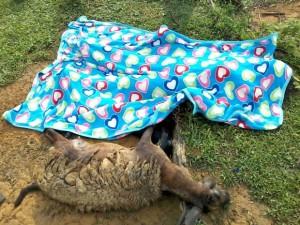Raio mata mulher que tentava salvar ovelhas