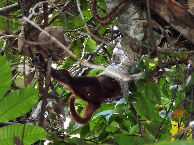 Bióloga faz registro inédito de ataque de jiboia a Bugiu em Rondônia