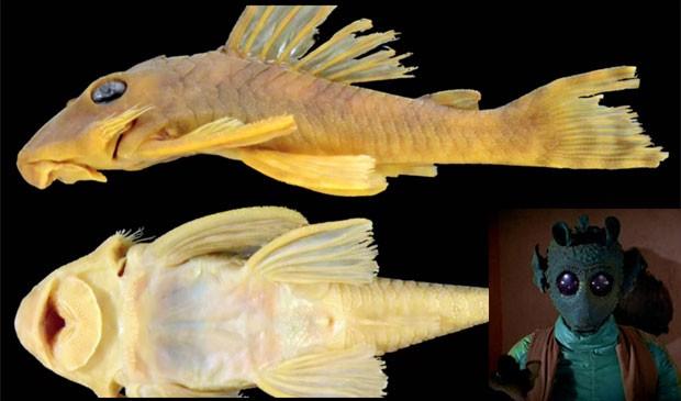 Peixe encontrado no Brasil ganha nome em homenagem a Star Wars