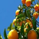 Laranja é o maior setor gerador de empregos da agropecuária