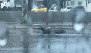 Após fortes chuvas, jacarés são encontrados em avenida de Manaus