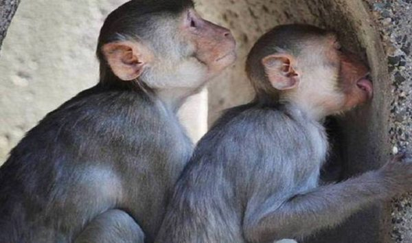 Macacos são achados mortos com suspeita de febre amarela em MS