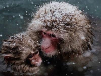 """Zoológico japonês mata 57 macacos por terem """"gene exótico"""""""