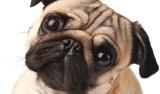 Estudo identifica mutação responsável pela 'cara' dos Pugs