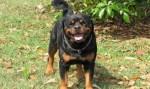 Rottweiler chora, alerta mãe e salva criança com convulsão
