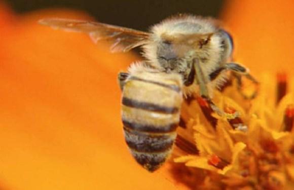 Instituto brasileiro desenvolve remédio inédito contra veneno de abelha