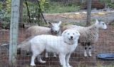 Justiça determina retirada de cordas vocais de cães por 'latidos incessantes'