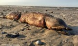A estranha criatura de dentes afiados encontrada em praia do Texas após passagem de furacão