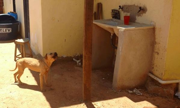 Casal de pitbulls ataca duas pessoas no DF; um dos animais foi morto