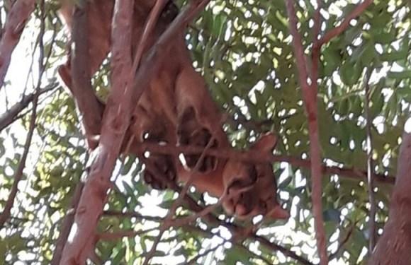Morador do DF encontra onça em cima de árvore, no quintal de casa