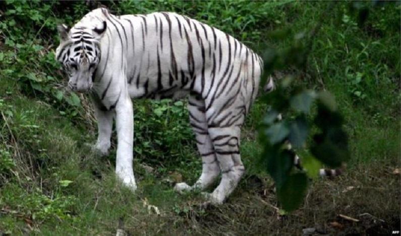 Tigres-brancos atacam e matam cuidador em parque nacional da Índia