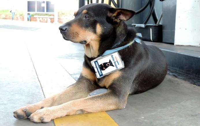 Cão é adotado por posto de combustíveis, ganha crachá e vira sucesso entre clientes