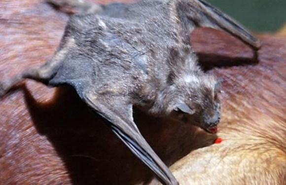 Mais de 200 pessoas foram atacadas por morcegos, dois casos de raiva humana já foram registrados no AM