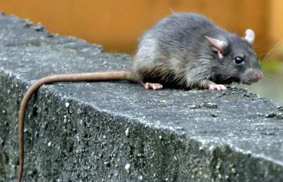 Mais de 500kg de maconha somem e policiais acusam ratos de comer droga