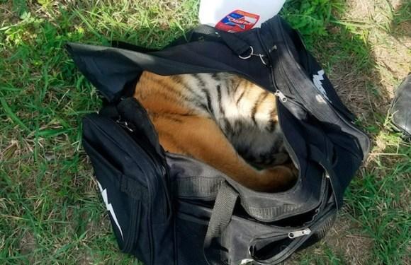 Filhote de tigre é abandonado em mochila na fronteira entre EUA e México