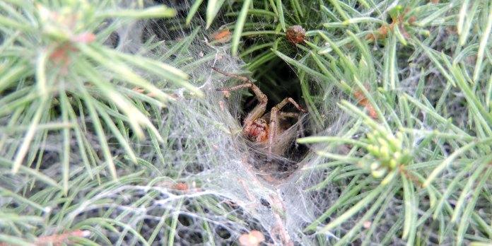 funnel web spider venom