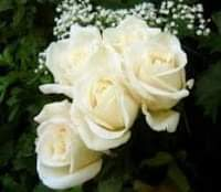 صور ورد جميل أبيض