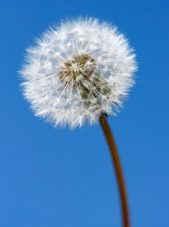 Photo of dandelion seed head