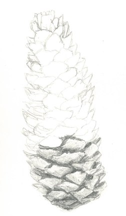 Sketch of fir cone