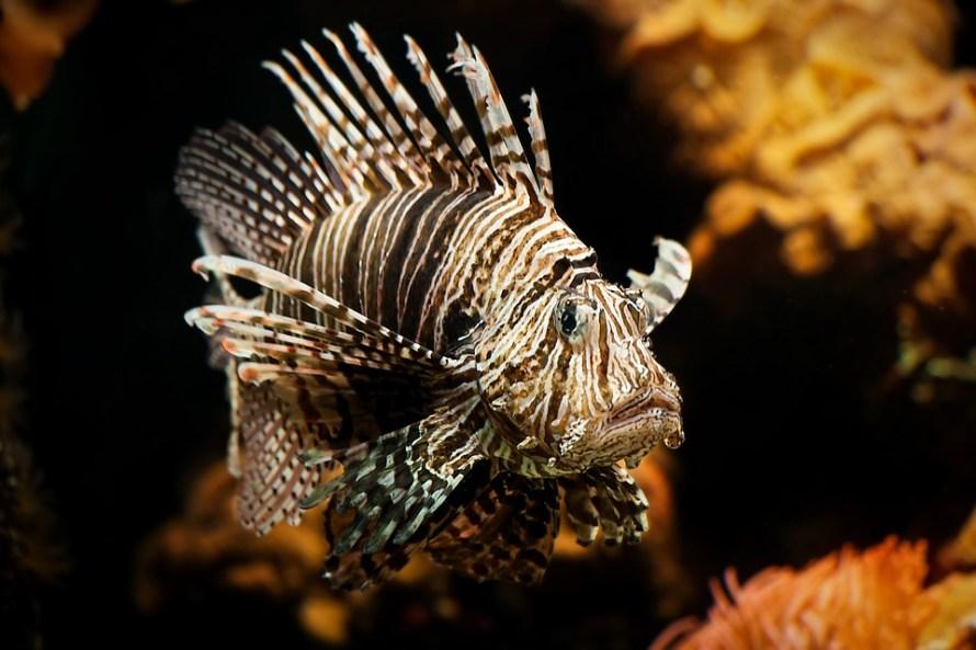 lionfish-610769_960_720
