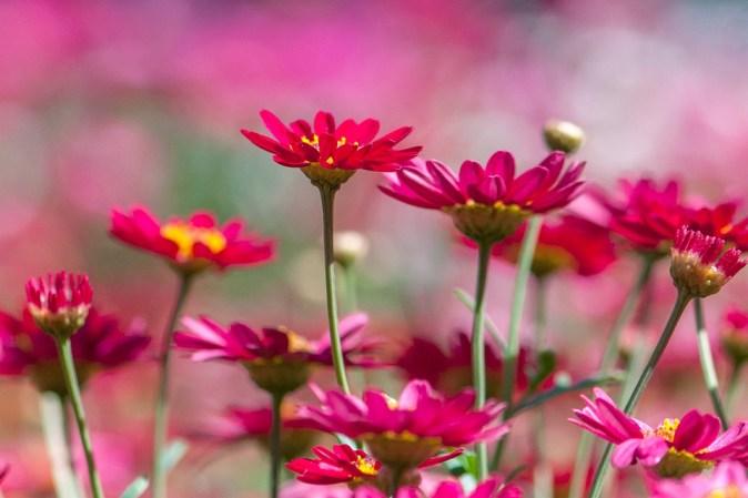 chrysanthemum-3073165_960_720