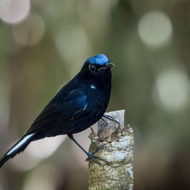 white-tailed_robin