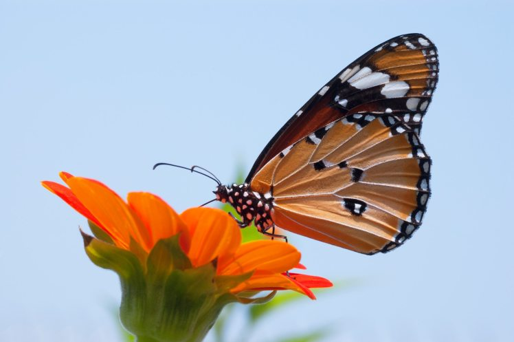 close-up-photo-of-monarch-butterfly-on-top-of-flower-1046287