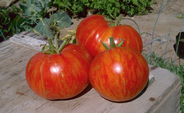 Freshly-harvested Sonoran Flair tomatoes