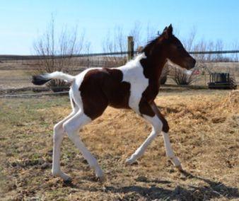 newborn paint colt