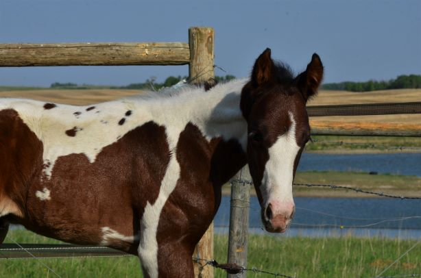 NEWBORN BEAUTIFUL APHA TOBIANO FILLY