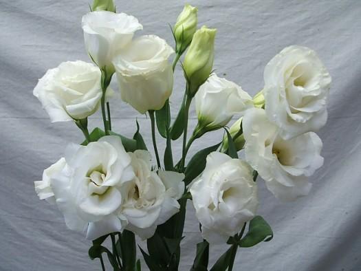 white-lissi