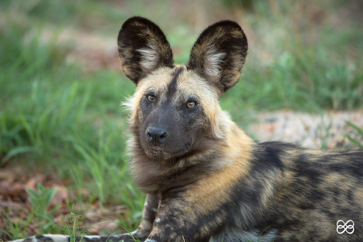 Fascinating Facts about The Painted Wolves