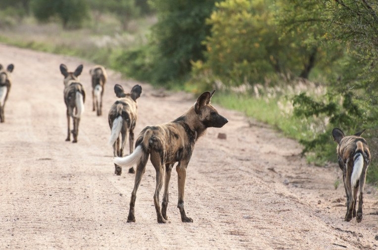WIld Dog Group_14
