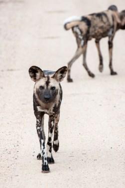 WIld Dog Group_5
